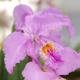 Cattleya mossiae