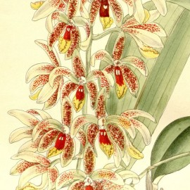 Dendroboium munificum (Inobulbon munificum)