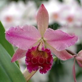 Cattleya Folie de Valec (Blc.)