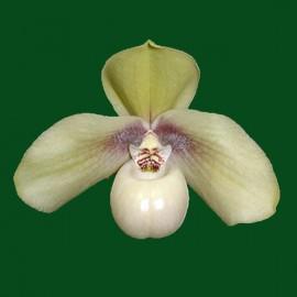Paphiopedilum hangianum
