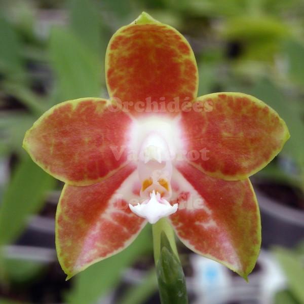 Cochenilles vs djkev sur les orchid es - Comment couper la tige d une orchidee apres floraison ...