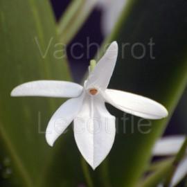 Jumellea sagittata (syn. arachnantha)