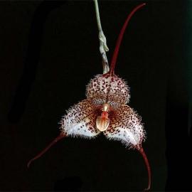 Fiche de culture de l'orchidée DRACULA