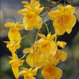 Dendrobium aggregatum (syn. lindleyi)