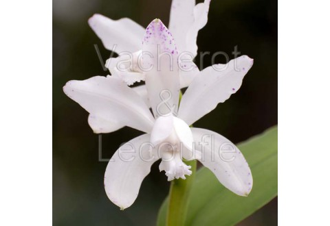 Cattleya intermedia var. alba