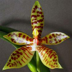 Phalaenopsis pantherina var. dark