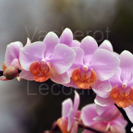 Phalaenopsis Tulcan