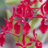 Renanthera Red Feathers
