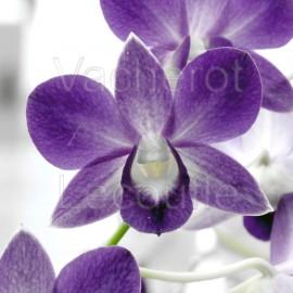 Dendrobium phalaenopsis Genting Blue