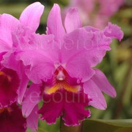 Fiche de culture de l'orchidée CATTLEYA, Laeliocattleya, Brassocattleya, Potinara et autres hybrides de Cattleya, Laelia