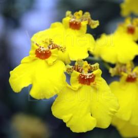 Fiche de culture de l'orchidée ONCIDIUM
