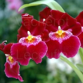 Fiche de culture de l'orchidée MILTONIOPSIS