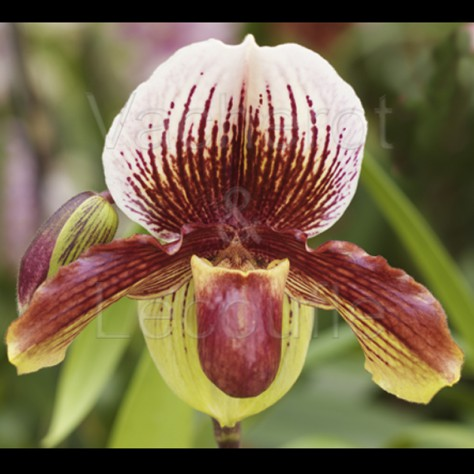 Fiche de culture de l 39 orchid e paphiopedilum sabot de - Orchidee sabot de venus ...