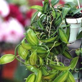 Fiche de culture de l'orchidée VANILLE (Vanilla planifolia)