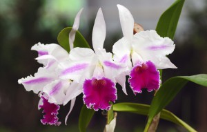 Cattleya Excelsior 'The Globe'