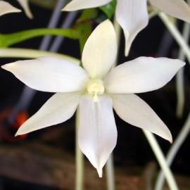 Fiche de culture de l'orchidée AERANGIS