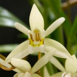 Fiche de culture de l'orchidée COELOGYNE