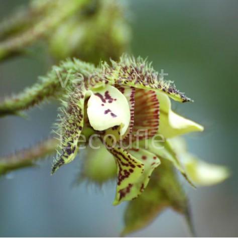 Dendrobium finisterrae