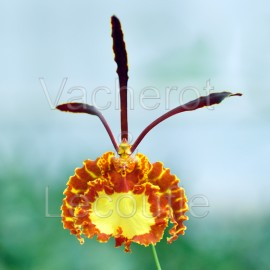 Psychopsis Mariposa 'Green Valley'