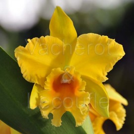 Cattleya Haw Yuan Gold 'Y.K #2' FCC/RHS (Pot.)