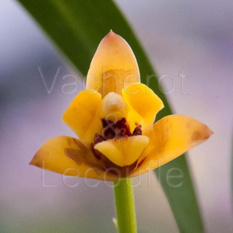 Maxillaria variabilis 'Yellow'