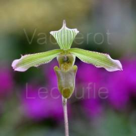Paphiopedilum javanicum var. virens