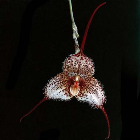 Fiche de culture de l 39 orchid e dracula vente fiches conseils par genres d Comment entretenir orchidee