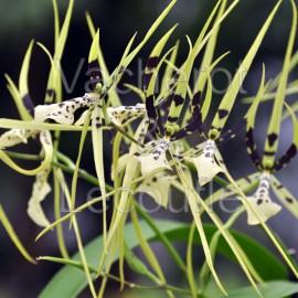 Brassia Painter 'Big Spider'