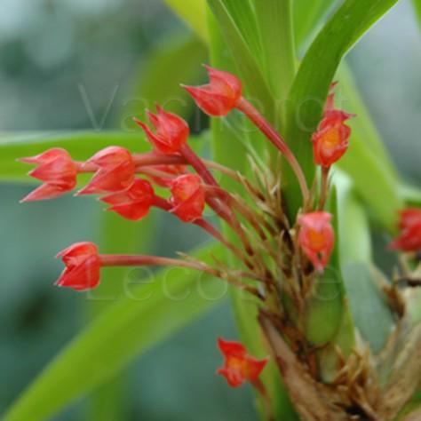 Maxillaria coccinea