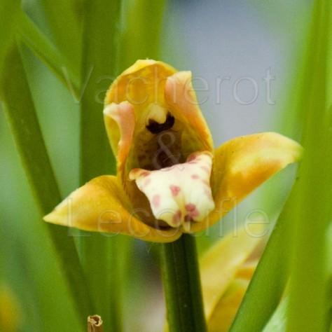 Maxillaria tenuifolia 'La Tuilerie'