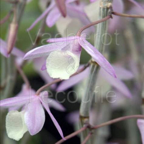 Dendrobium aphyllum (syn. pierardii)