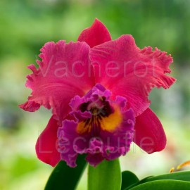 Cattleya Tainan City 'General' (Lc.)