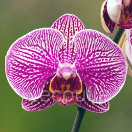 Phalaenopsis Circus