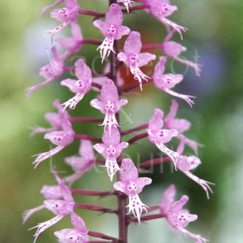Stenoglottis longifolia