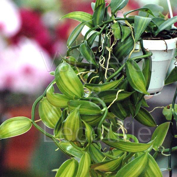 planter une orchidee vanille
