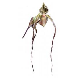 Paphiopedilum Angel Hair