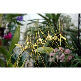Brassia Edvah Loo 'Veracruz' AM/RHS