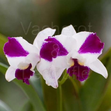 Cattleya Purple Cascade 'Fragrant Beauty' (Lc.)