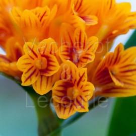 Dendrobium bullenianum (syn. topaziacum)