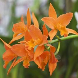 Cattleya Thais de Valec (Pot.)