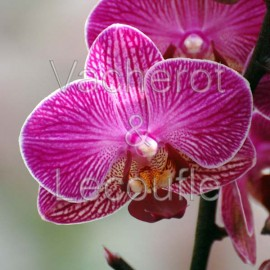 Phalaenopsis Perceval