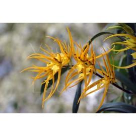 Brassia Orange Delight
