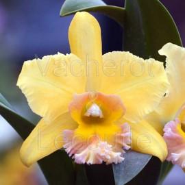 Cattleya Malworth 'Orchidglade' FCC/AOS (Blc.)