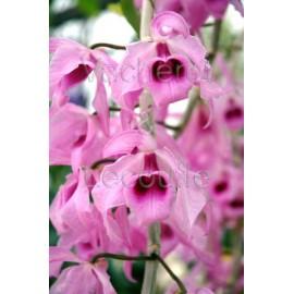 Dendrobium anosmum syn. superbum