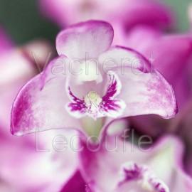 Dendrobium kingianum var. compactum