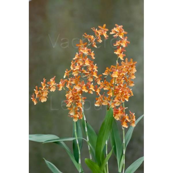 Cambria catatante colmanara vente par genres principaux orchid es de a z en - Symbole de l orchidee ...