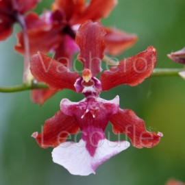 Oncidium Sharry Baby 'Sweet Fragrance' AM/AOS