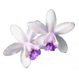 Cattleya intermedia var. coerulea