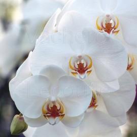 Phalaenopsis hybride blanc classique