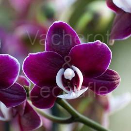 Phalaenopsis Elegant Kaoda Twinkle